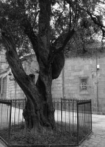 Olivo en l iglesia parroquial de San Miguel de Bouzas. Fotografía Eduardo Galovart