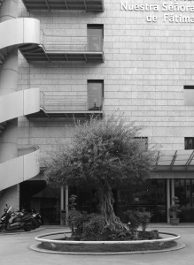 Olivo en la entrada del Hospital de Fátima. Fotografía Eduardo Galovart
